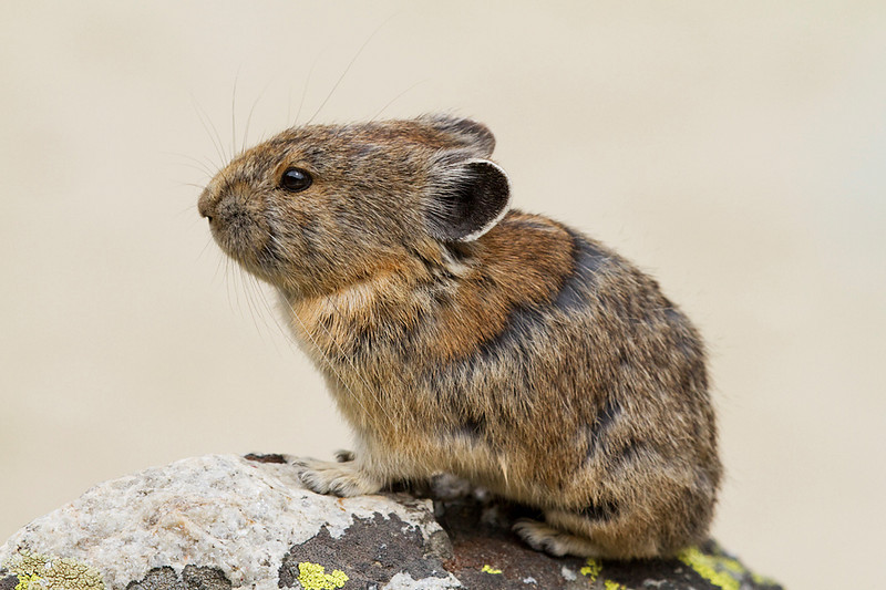 A pika sitting on a rock.