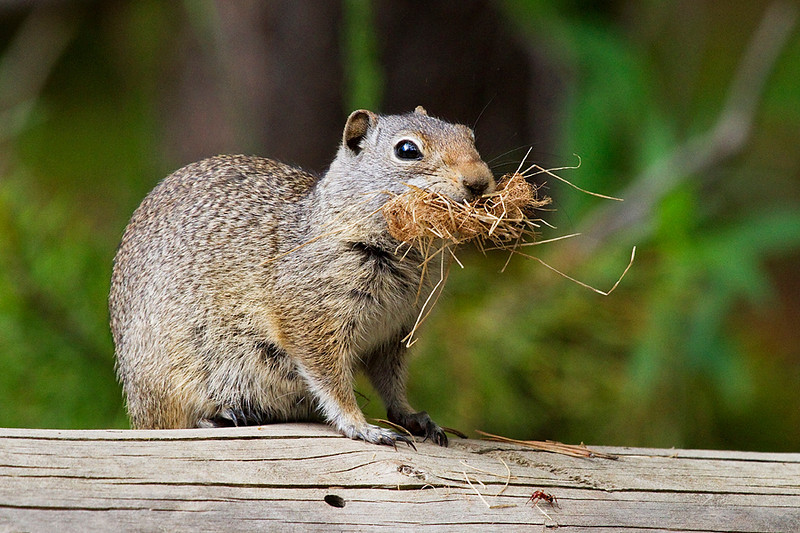 A ground squirrel gathers nesting material in its mouth.