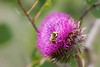 A bee searching for nectar in a thistle flower.