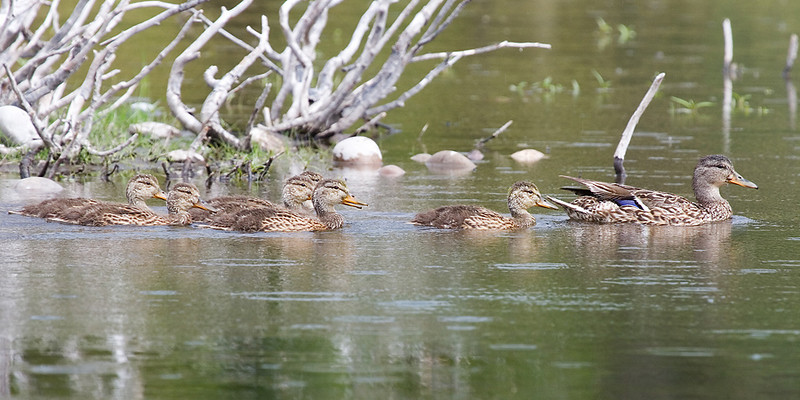 A family of ducks swimming in a lake.