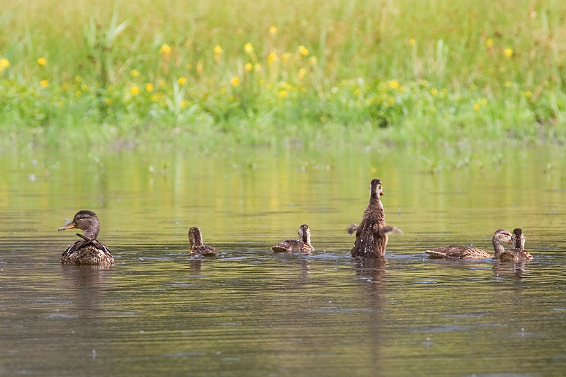 A family of ducks playing in a lake.