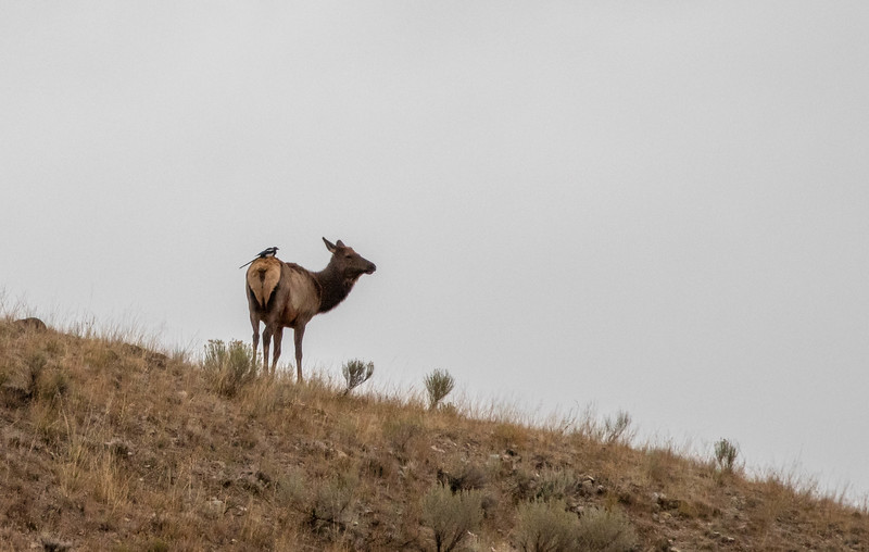Mountain Magpie sitting on an Elk