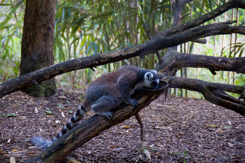 An expressive Ring-tailed Lemur