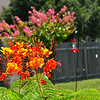 "Backyard is in bloom with ""Pride of Barbados"" and Aunt Barb's Crepe Myrtle in the background."