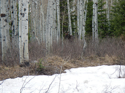 Moose on hike
