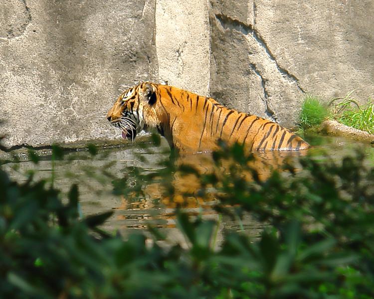 Bengal Tiger cooling off.