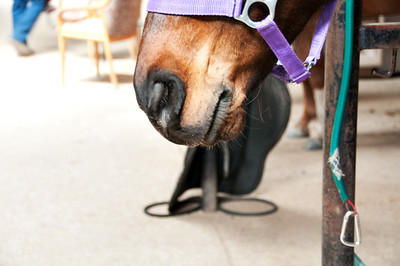 Scout gets into his casual bridle.
