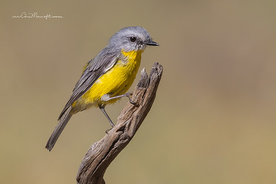 Eastern Yellow Robin, Eopsaltria australis.