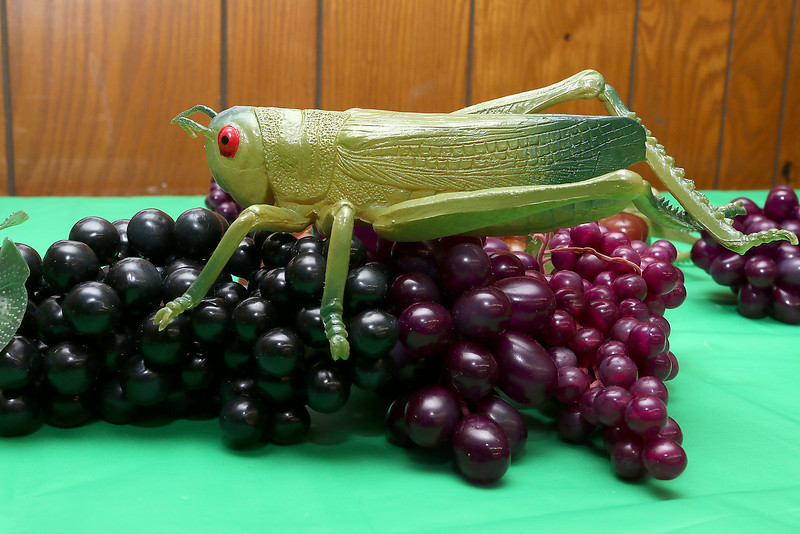The Finnish Center of Saima Park will be hosting a Grapes and Grasshopper event. The event symbolizes and event that took place in ancient Finland when they had to run the grasshoppers out of the country for eating all of their grapes. SENTINEL & ENTERPRISE/JOHN LOVE