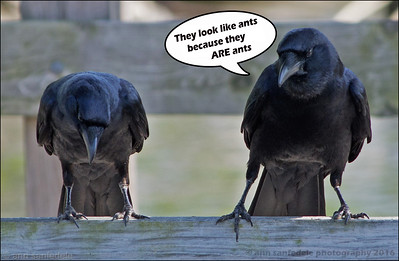 Two crows sat upon a  wall