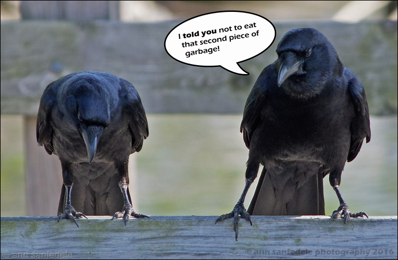Two crows sat upon a  wall...