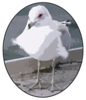 design for Gull T