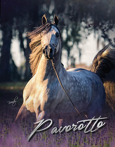 Pavorotto-StallionCards