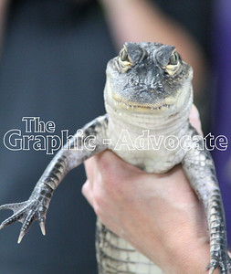 This American alligator visited SCC kindergarten students Nov. 6. GRAPHIC-ADVOCATE PHOTO/ERIN SOMMERS