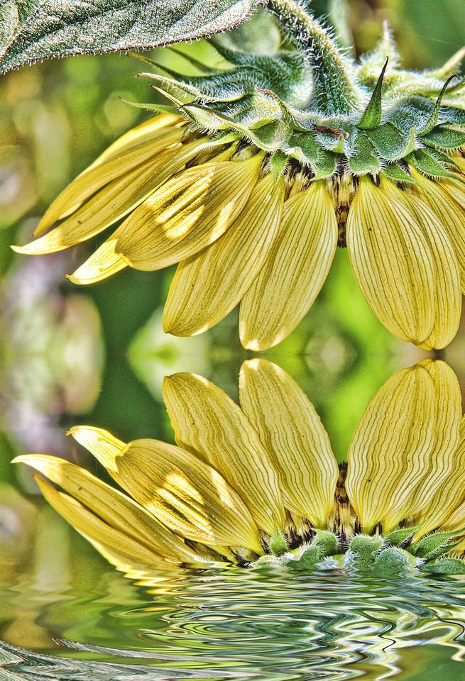 SunflowerDetailedReflected