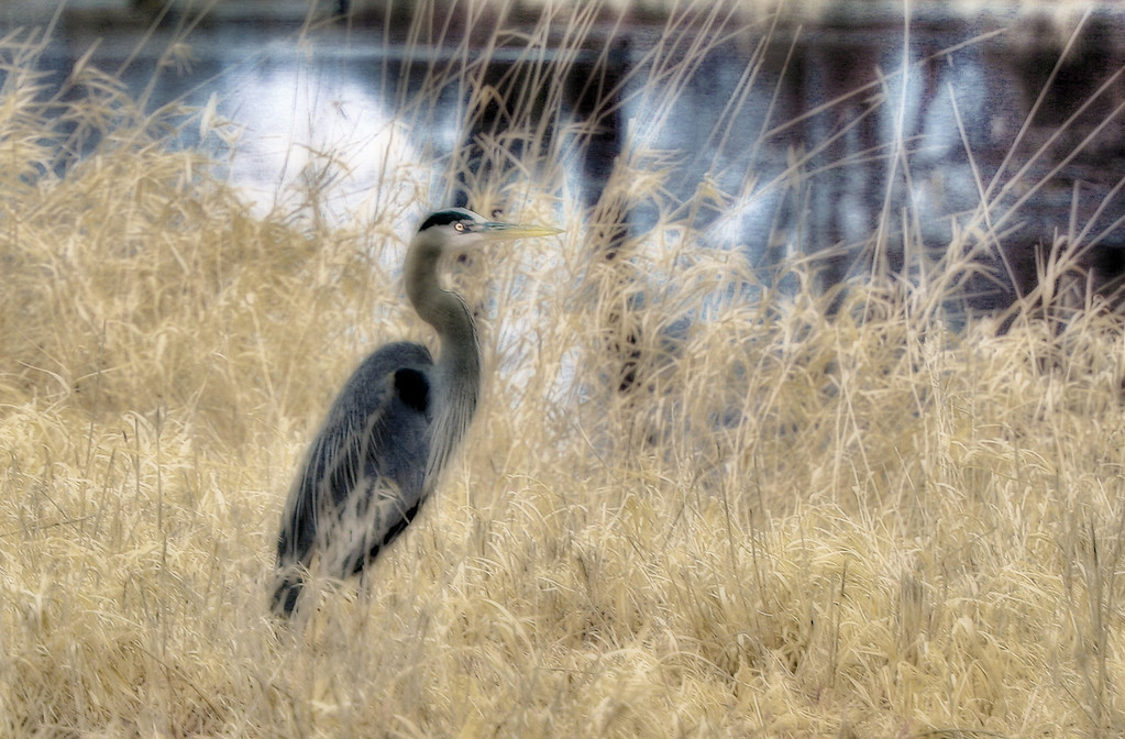 Heron in the grass 3