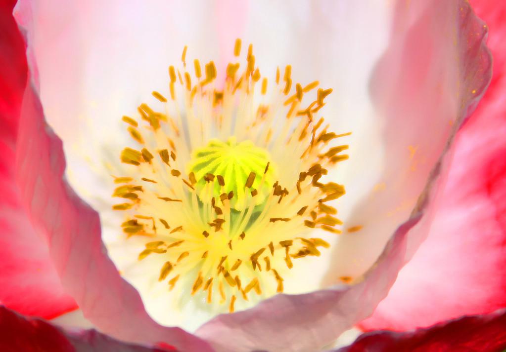 Poppy CenterOWH
