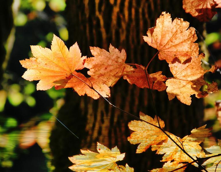 Leaves Brilliant