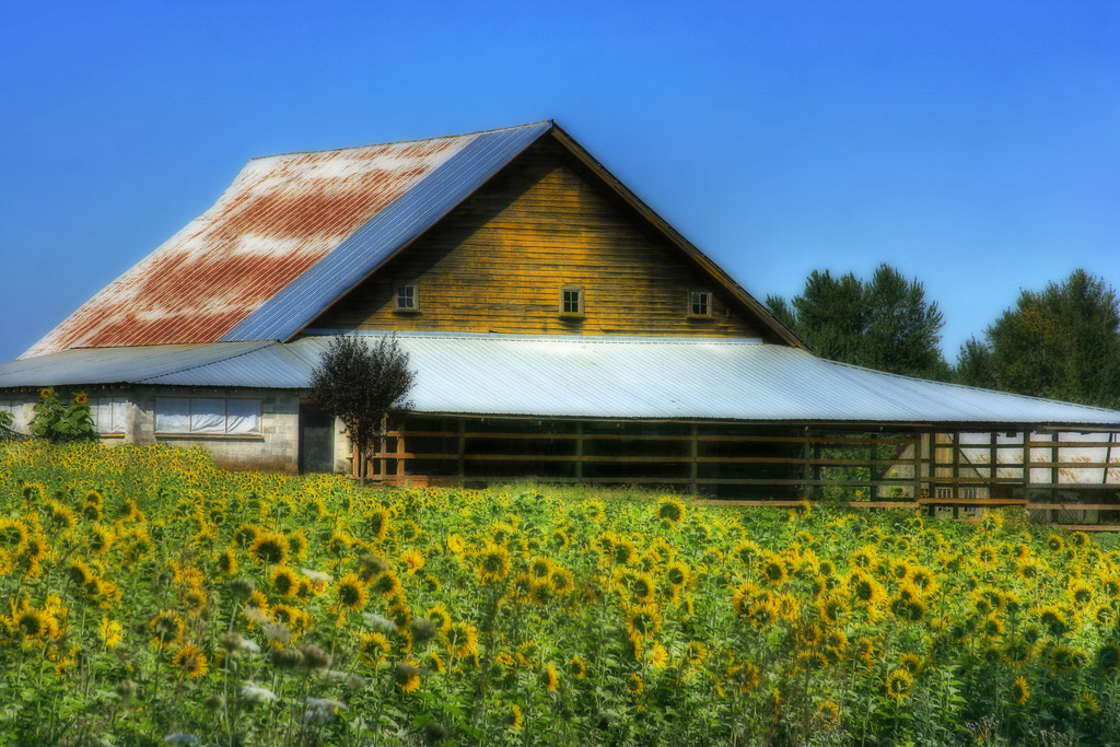 barn with sunflowers combined