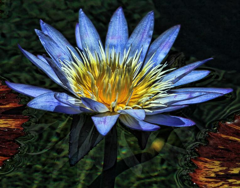 Hawaiian Water Lily