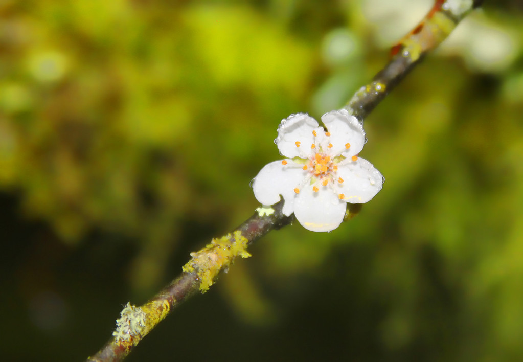 FirstBlossom_Spring11