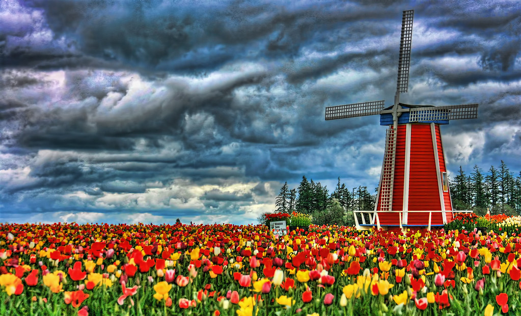 Tulip Fields Dramatic sky hdr
