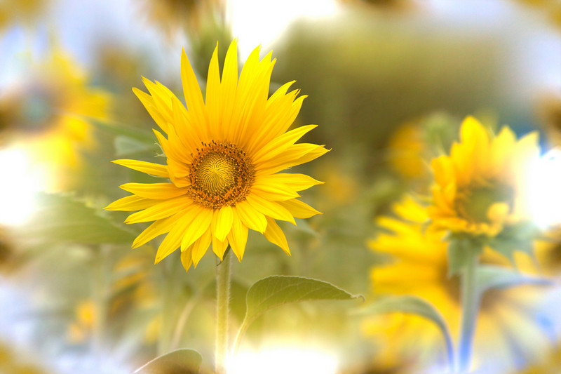 Dreamy sunflowers