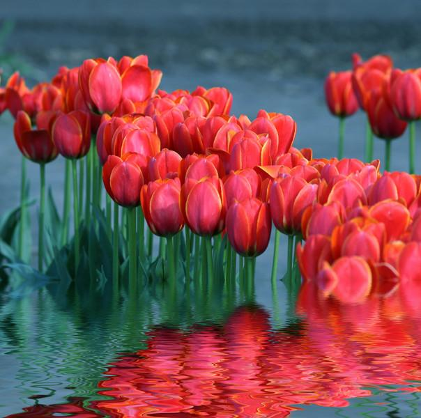 Tulips flooded