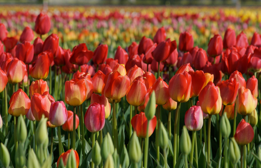 Red and Orange Tulips