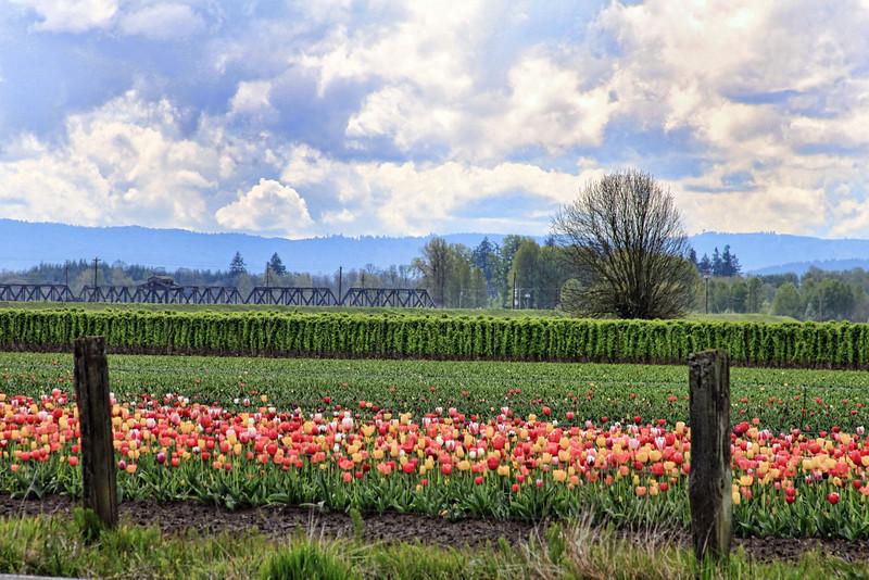 Train Bridge with Tulips