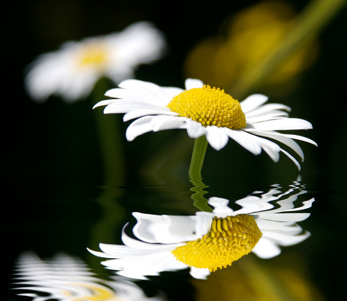dream daisies