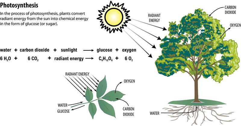 Graphics  Needmedia Photosynthesis