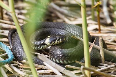 Grass Snake - Snog