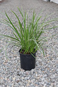 Grass, Carex mo  'Ice Dance'