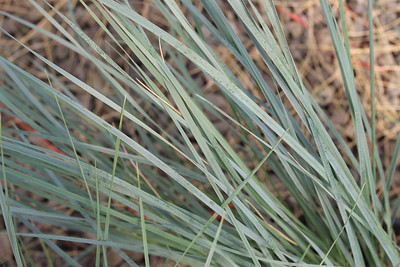 Grass, Helictotrichon sempervirens #1 (2)