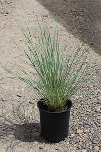 Grass, Helictotrichon sempervirens #1