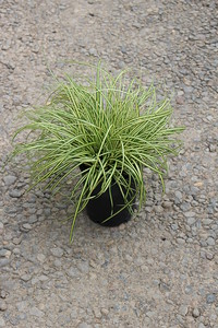 Grass, Carex oshimensis Evercolor 'Everoro'