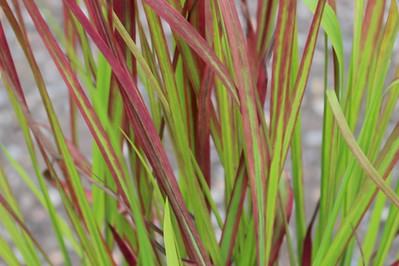 Grass, Imperata c  'Rubra' ('Red Baron')