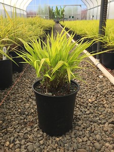 Grass, Hakonechloa m  'All Gold' #1