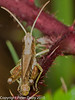 Meadow grasshopper (Chorthippus parallelus). Copyright Peter Drury 2010