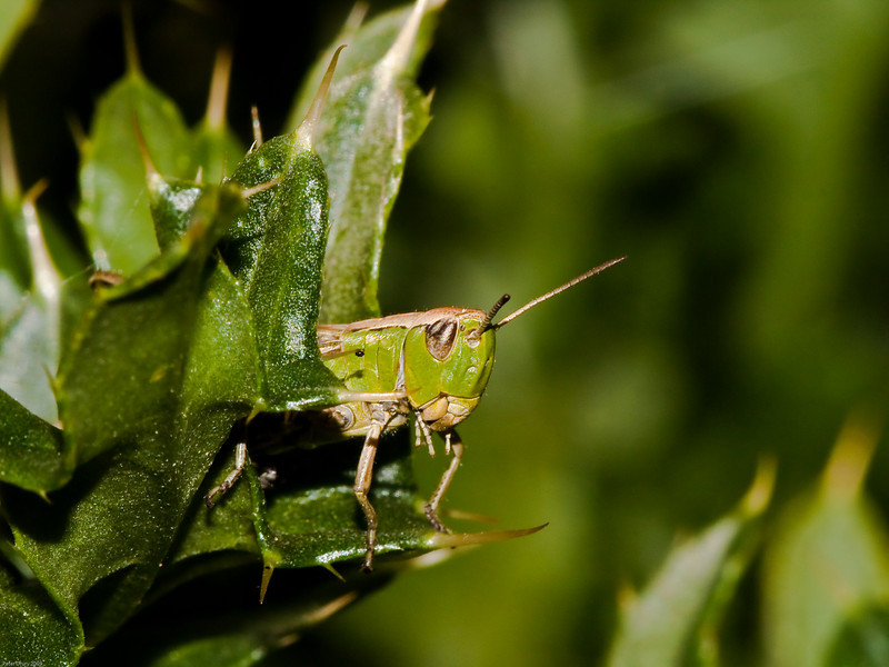 Meadow grasshopper (Chorthippus parallelus). Photo Copyright 2009 Peter Drury