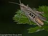 Field Grasshopper (Chorthippus brunneus). Copyright Peter Drury 2010