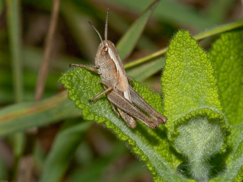 Grasshopper (Nymph). Copyright 2009 Peter Drury