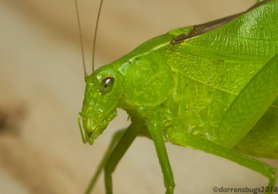 Round-headed Katydid, genus Amblycorypha (Iowa, USA).
