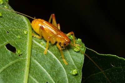 Raspy Cricket, Gryllacrididae, from Monteverde, Costa Rica. This chubby little fellow might look cute, but these omnivorous crickets are frequent predators of insects and other small arthropods.