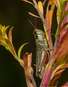 Red-legged Grasshopper, Melanoplus femurrubrum (Iowa, USA). The combination of reds, yellows, and greens on this hopper provides excellent camouflage against the changing autumn foliage.