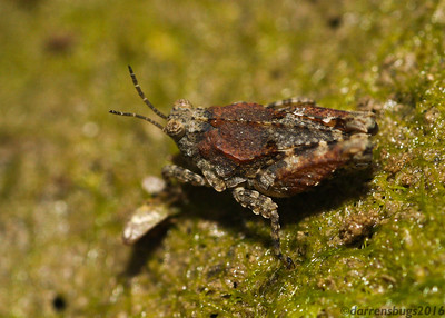 Pygmy Grasshopper, family Tetrigidae, from Iowa.