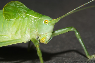 Katydid (Tettigoniidae) from Iowa.