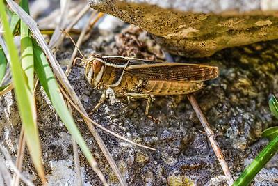 Grasshoppers - Græshopper