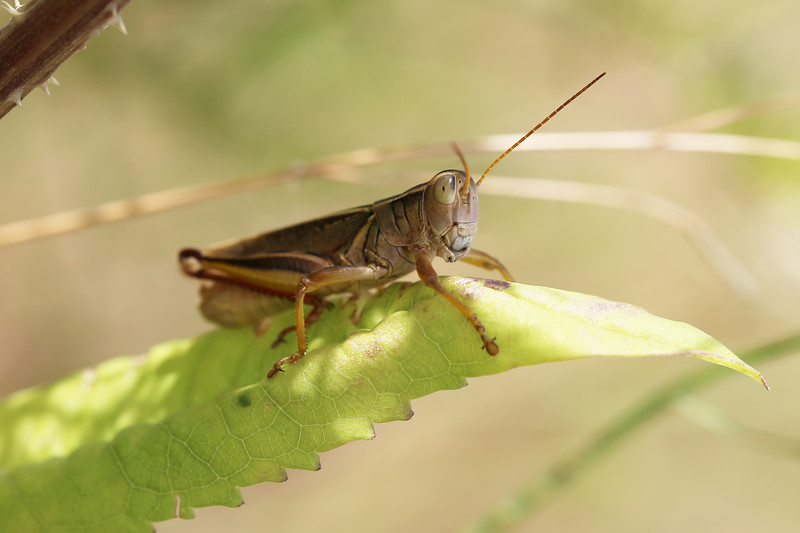 Short-Horned Grasshoppers (Acrididae)